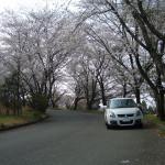 桜が満開?