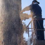 境内の木の伐採