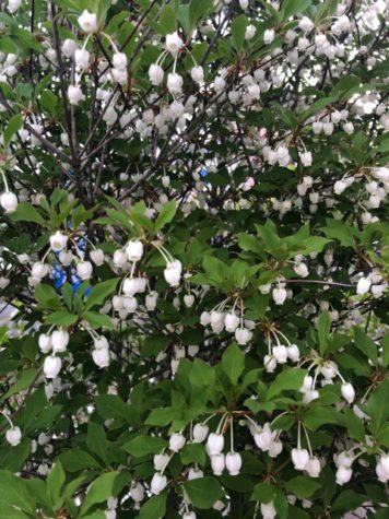 釣鐘状に花がたくさん咲きました^ ^