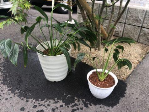 展示場の植物の株分け〜。