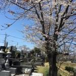桜の下で納骨式です
